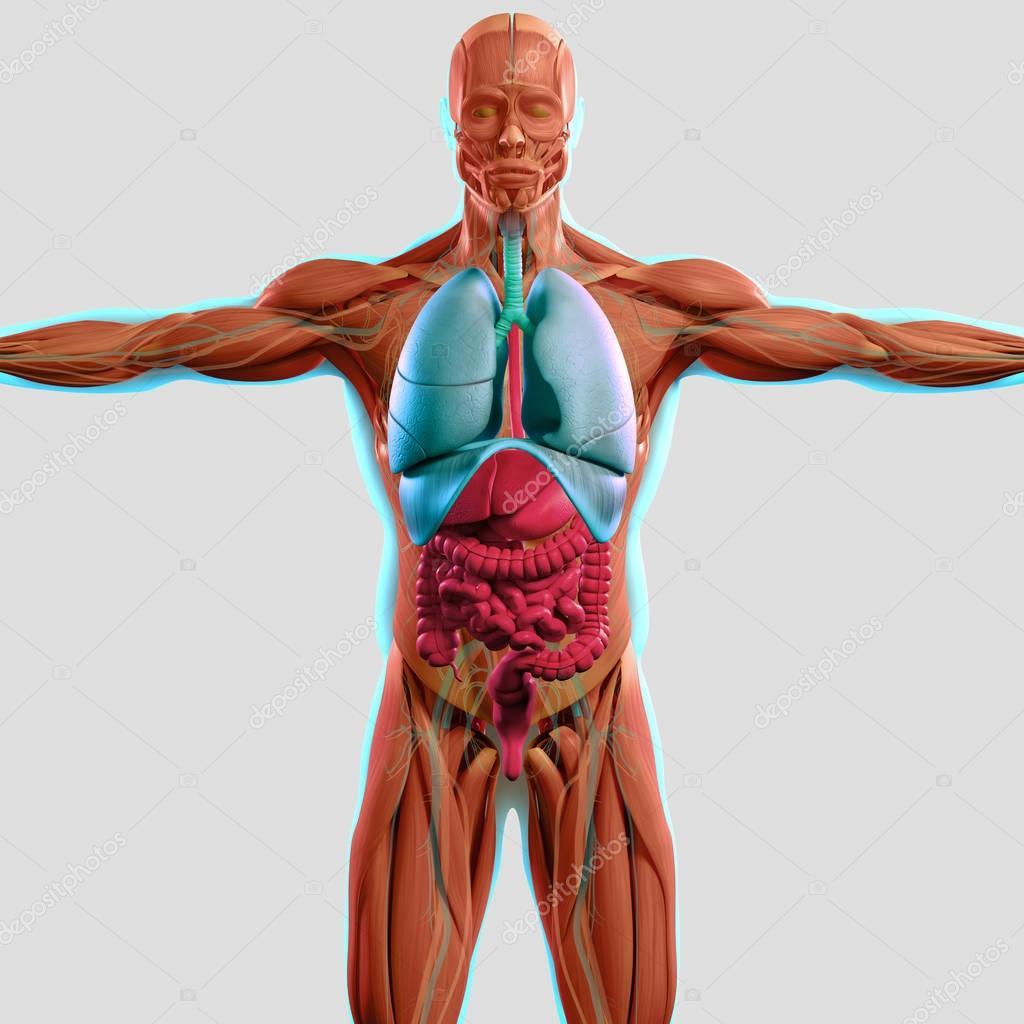 menschliche Anatomie Modell — Stockfoto © AnatomyInsider #129016500
