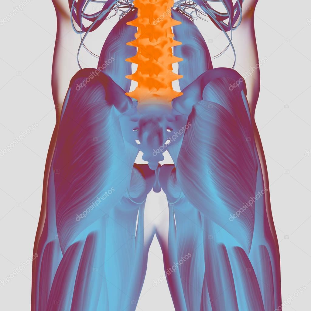 Modelo humano de la anatomía de la columna vertebral y pelvis ...