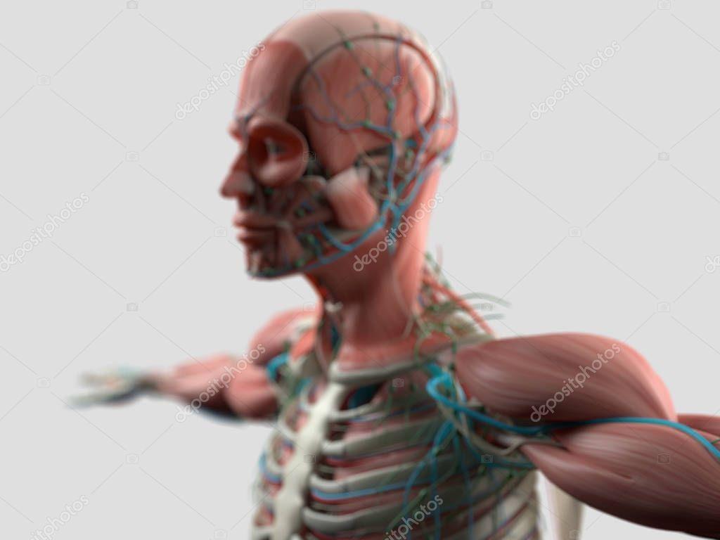 Modelo de anatomía humana cabeza — Fotos de Stock © AnatomyInsider ...