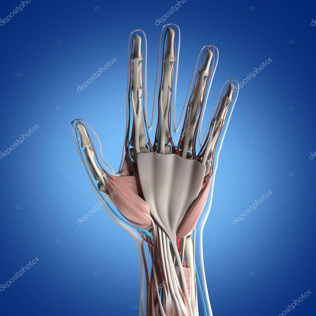 Human Hand Anatomy Model Stock Photo Anatomyinsider 129016742