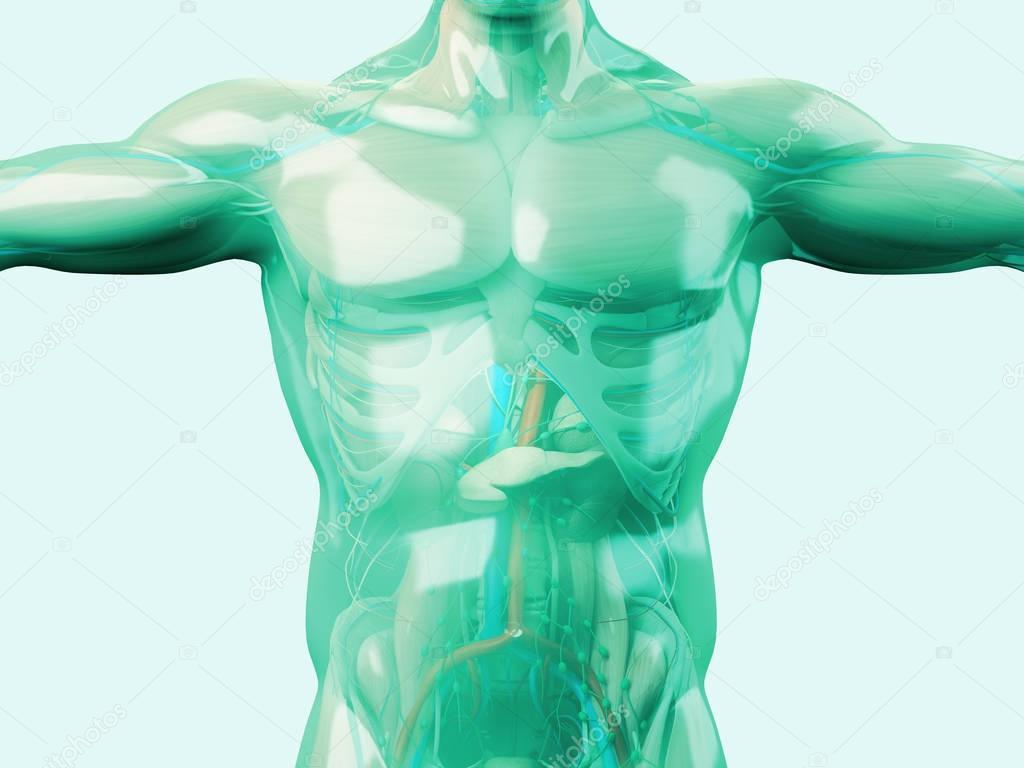 Menschliche Anatomie Modell mit Glashaut — Stockfoto ...