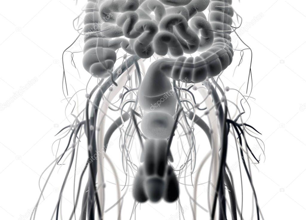Sistema urinario y reproductor masculino — Foto de stock ...