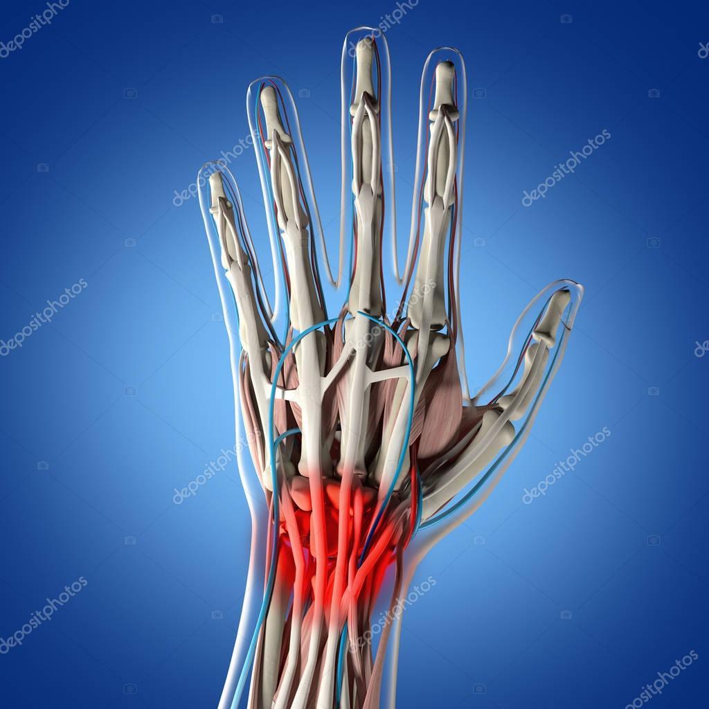 Human Hand Anatomy Model Stock Photo Anatomyinsider 129016828