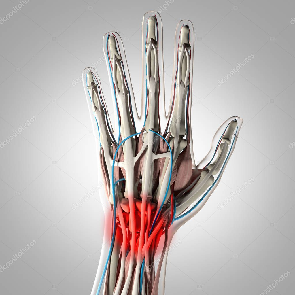 Human Hand Anatomy Model Stock Photo Anatomyinsider 129016994