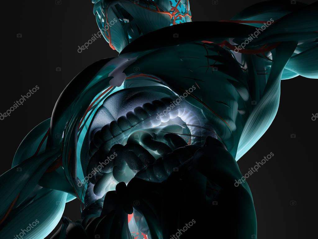Human guts anatomy model — Stock Photo © AnatomyInsider #129017086