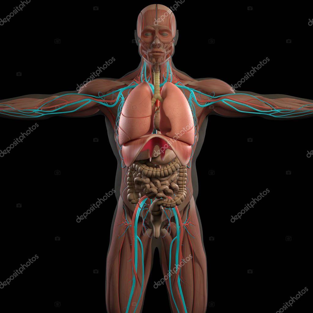 menschliche Anatomie Modell — Stockfoto © AnatomyInsider #129017222