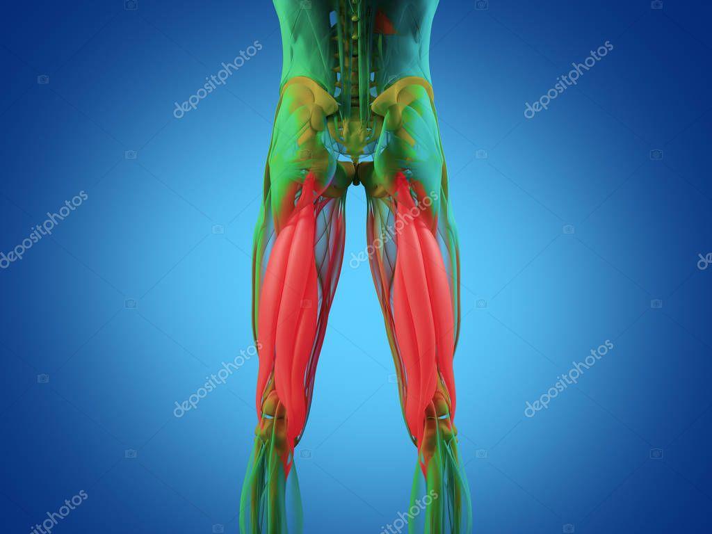 Hamstring muscle group anatomy model — Stock Photo © AnatomyInsider ...