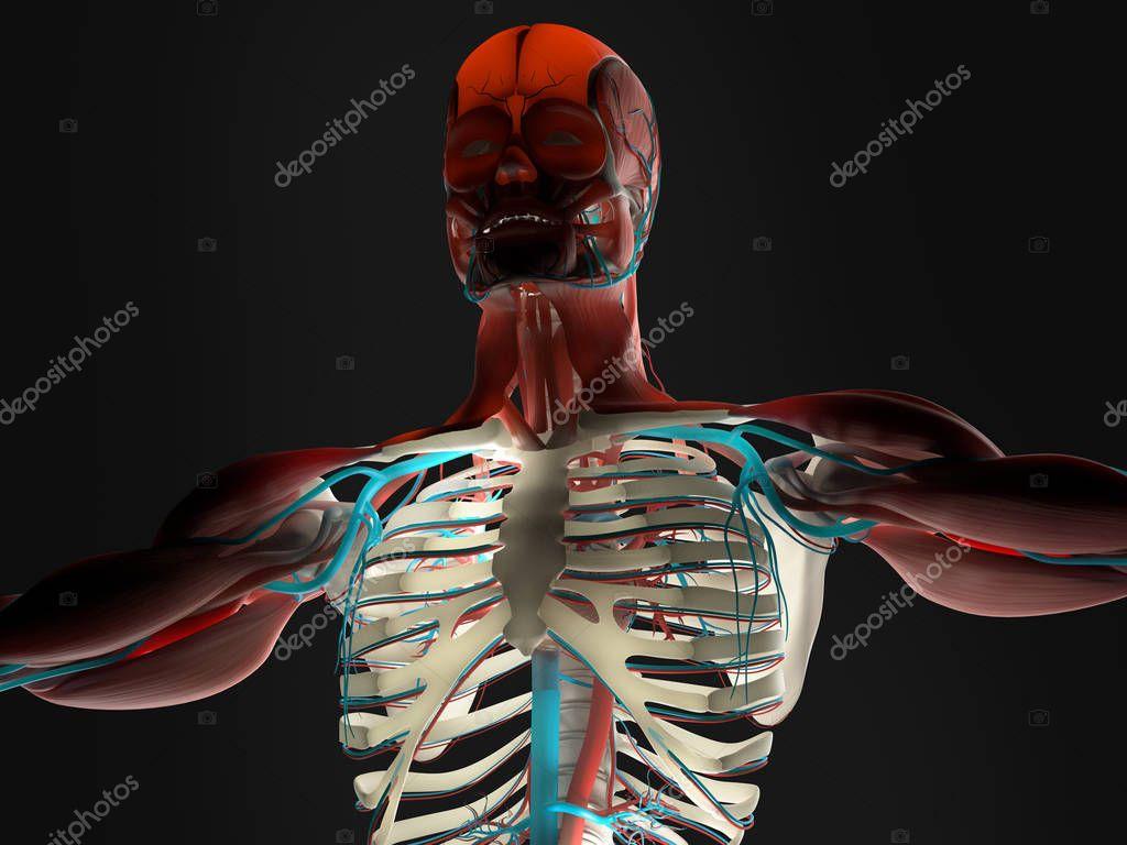 modelo de anatomía humana — Foto de stock © AnatomyInsider #129017836