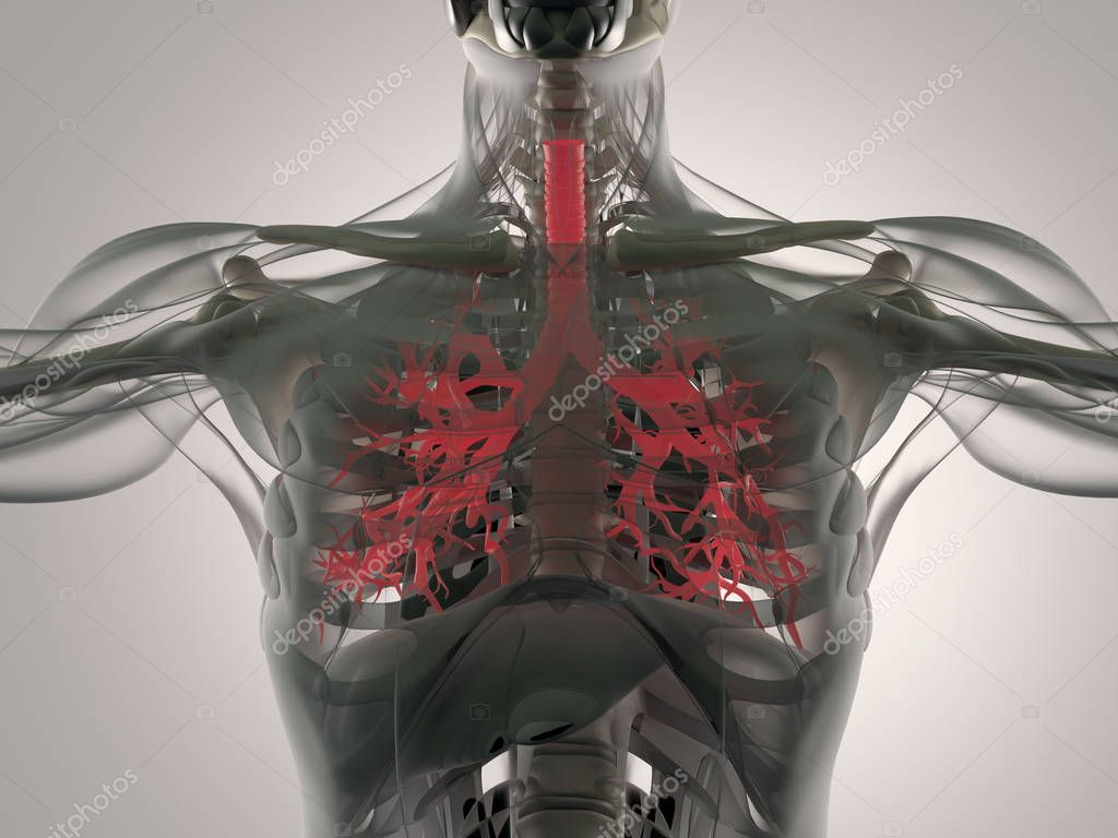 Menschmodell Bronchus Anatomie — Stockfoto © AnatomyInsider #129017968