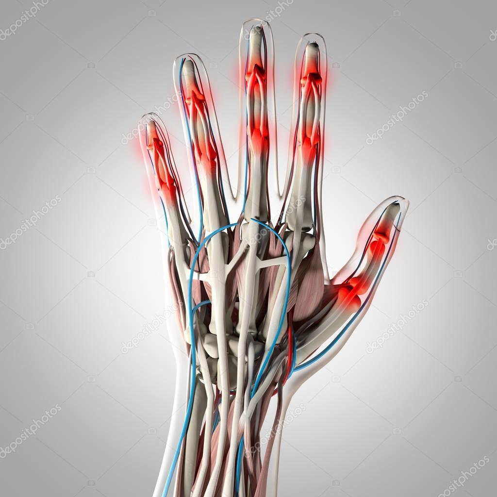 Human hand anatomy model — Stock Photo © AnatomyInsider #129018386