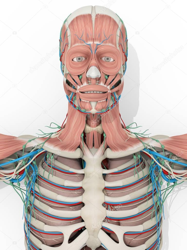 Sistema muscular anatomia humana médico — Stock Photo ...