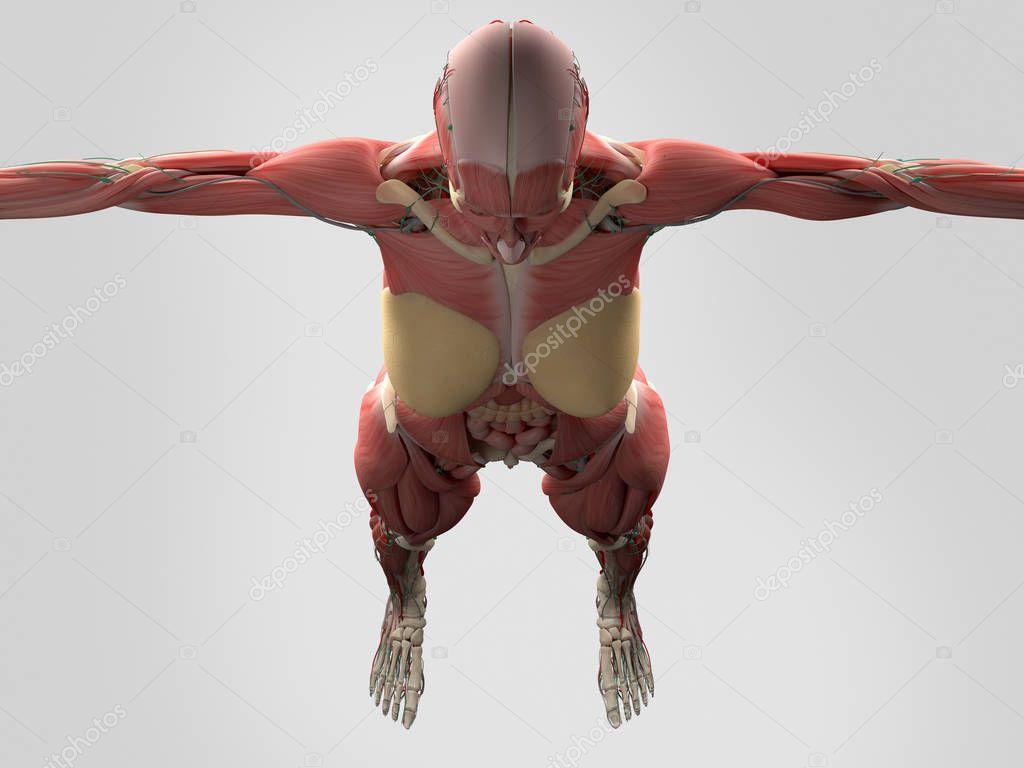 Anatomie des weiblichen Körpers — Stockfoto © AnatomyInsider #129018600