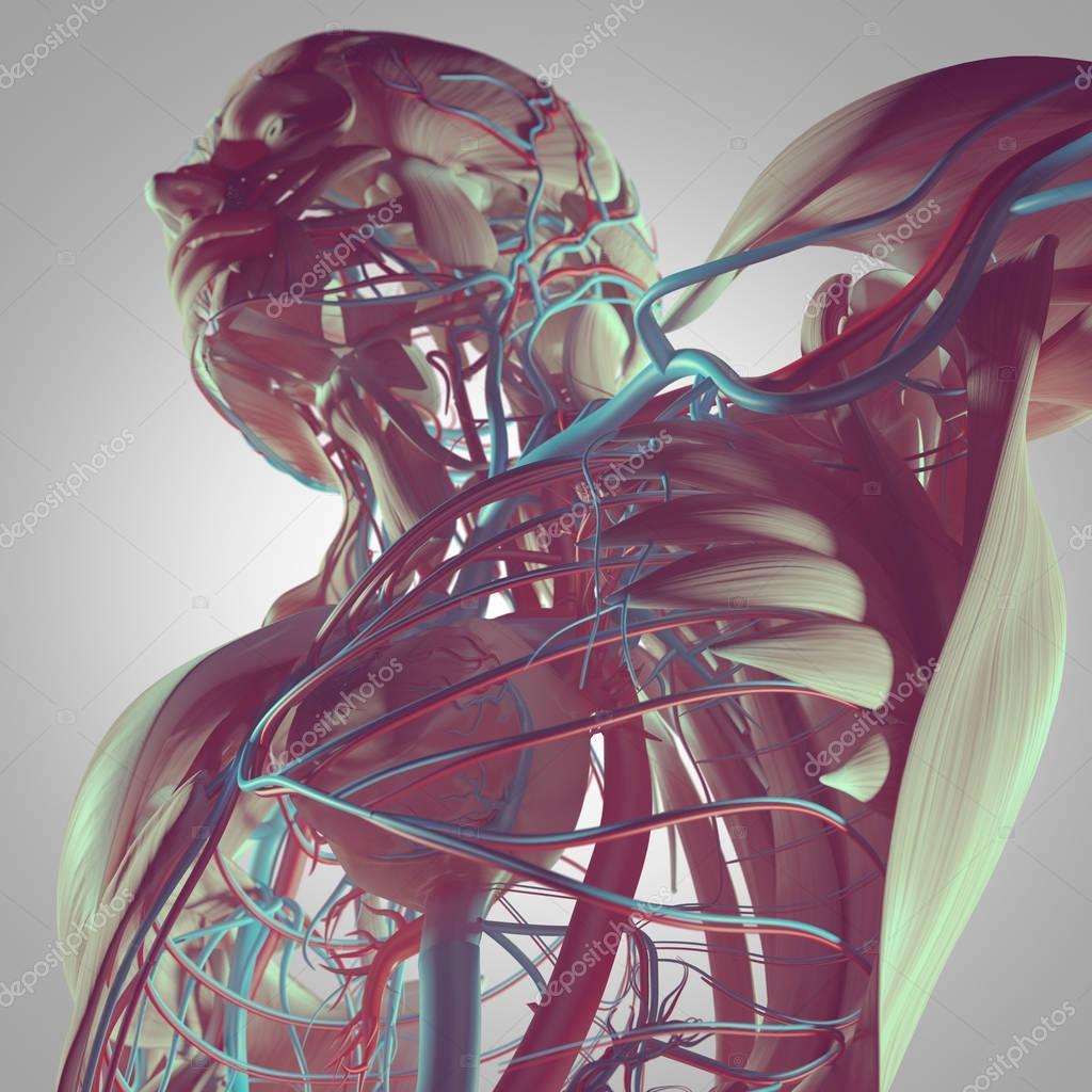 Anatomie der menschlichen torso — Stockfoto © AnatomyInsider #129018824