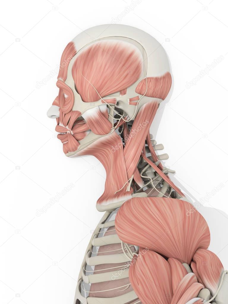 männlichen Kopf Anatomie Modell — Stockfoto © AnatomyInsider #129018888