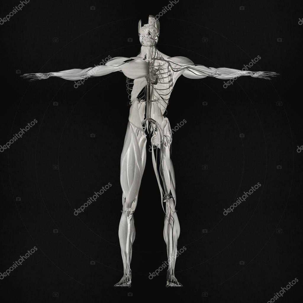 Muscular and vascular system anatomy model — Stock Photo ...