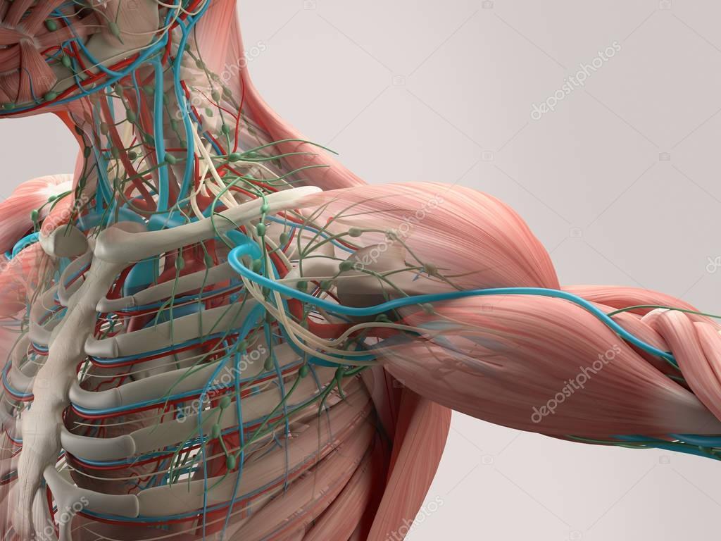 Anatomía del hombro humano — Foto de stock © AnatomyInsider #129018944