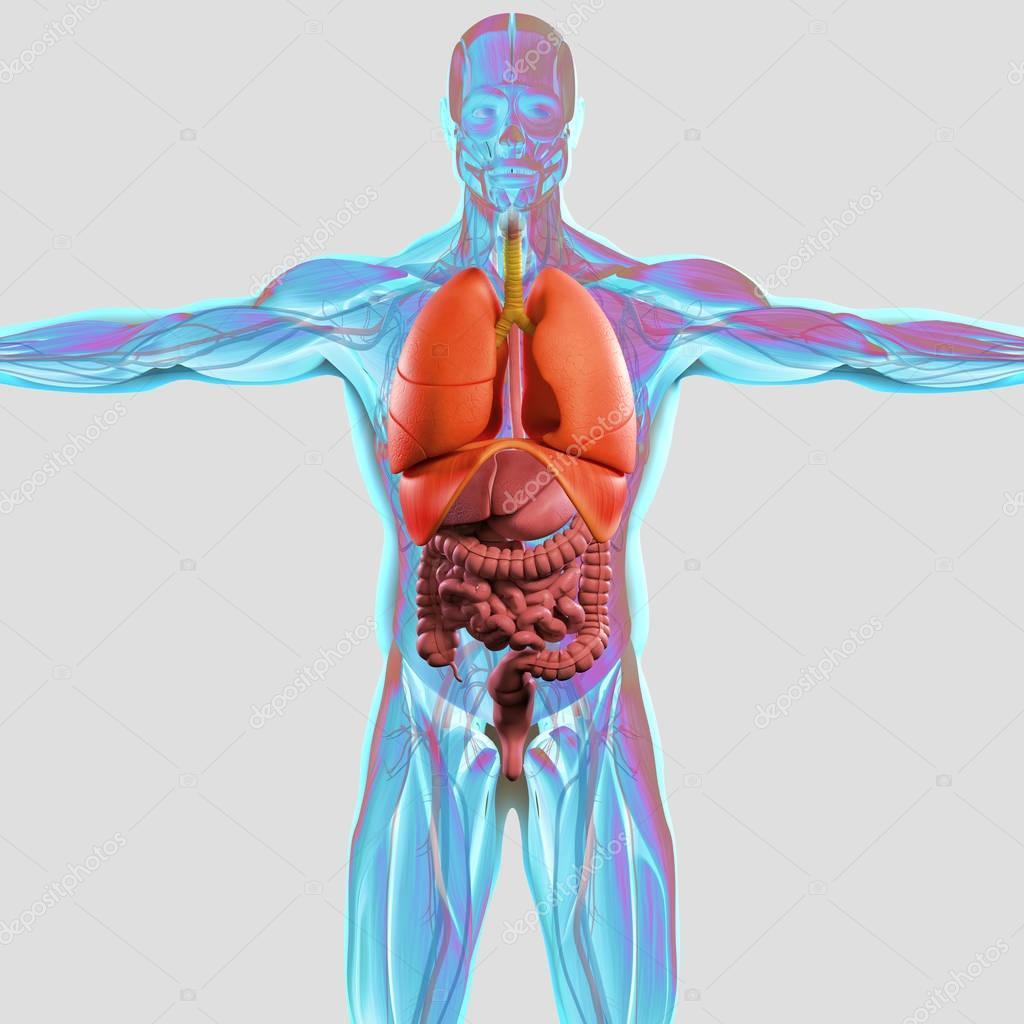 Berühmt Menschliche Anatomie Modelle Beschriftet Fotos - Menschliche ...