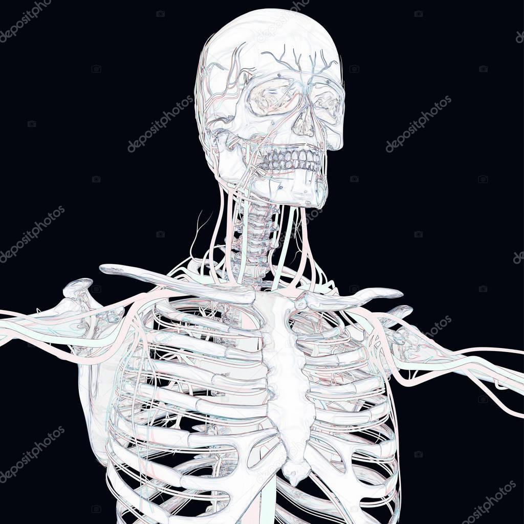 Ausgezeichnet Skelett Anatomie Modell Galerie - Menschliche Anatomie ...