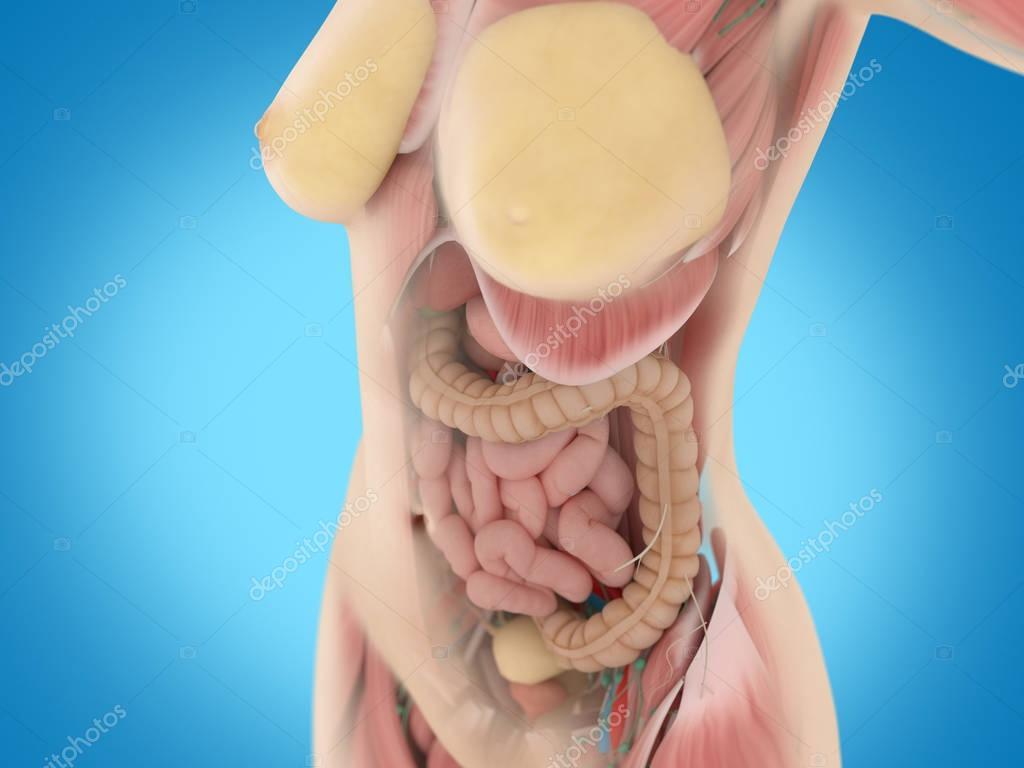 Anatomía de torso femenino — Foto de stock © AnatomyInsider #129019144