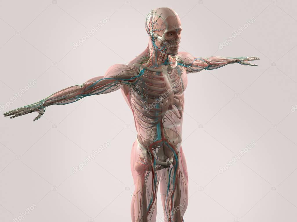 menschliche Anatomie Modell — Stockfoto © AnatomyInsider #129019166