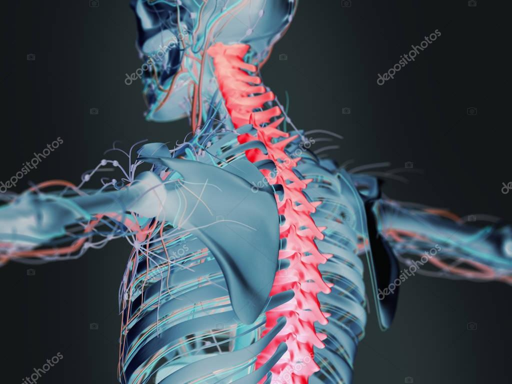 Human upper back anatomy model — Stock Photo © AnatomyInsider #129019252