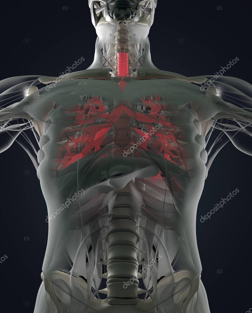 modelo de anatomía de bronquio humano — Foto de stock ...