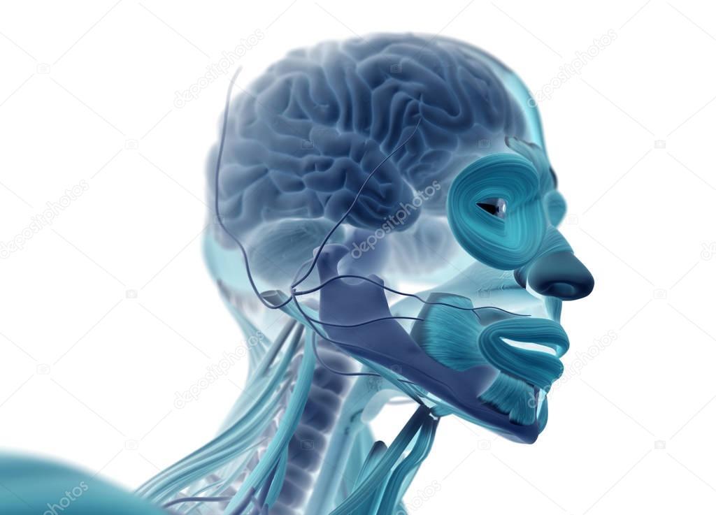 modelo de anatomía cabeza masculina — Fotos de Stock ...