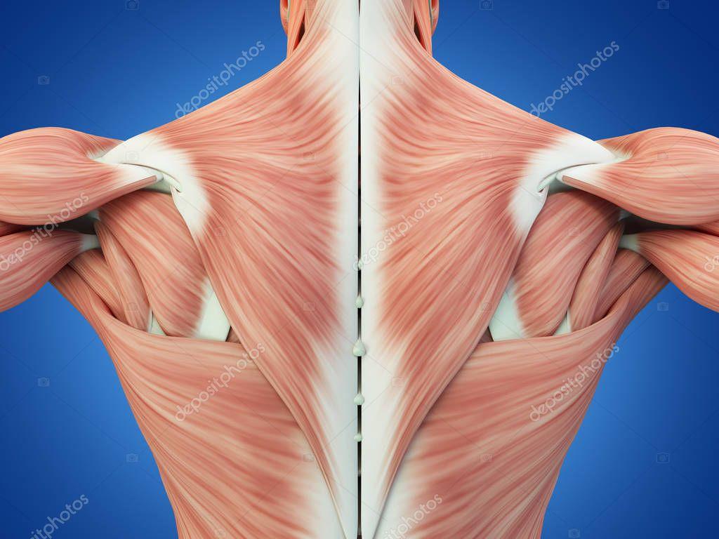 male torso back muscles — Stock Photo © AnatomyInsider #129019444