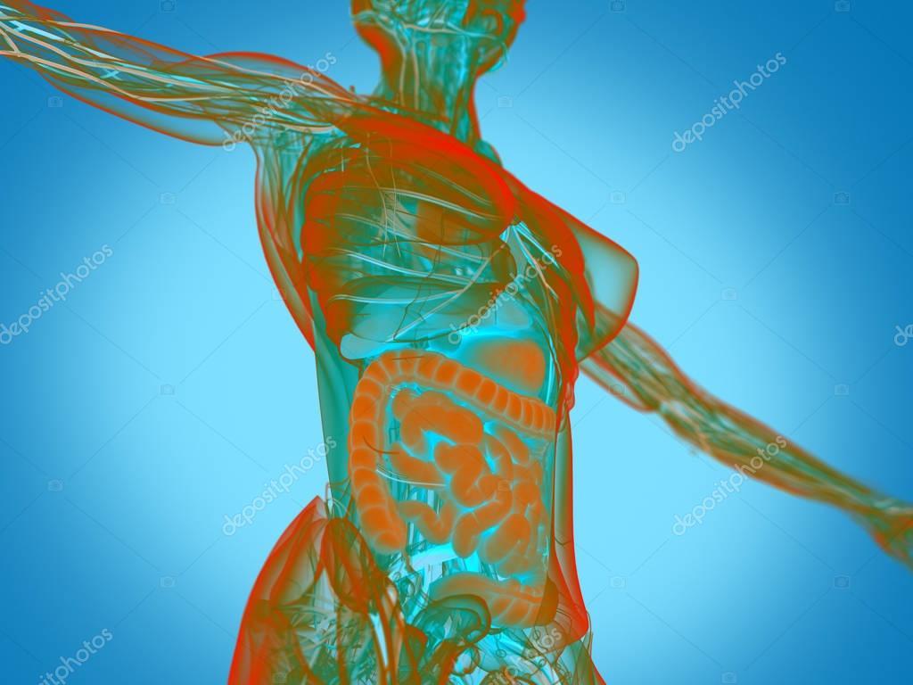 Anatomie des weiblichen Körpers — Stockfoto © AnatomyInsider #129019472