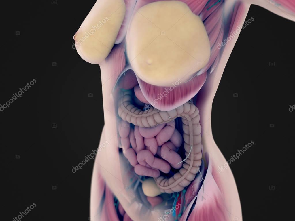 Anatomía de torso femenino — Foto de stock © AnatomyInsider #129019506