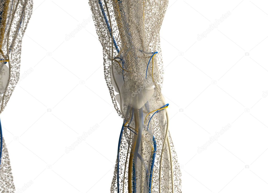 Human Knee Anatomy Details Stock Photo Anatomyinsider 129019524