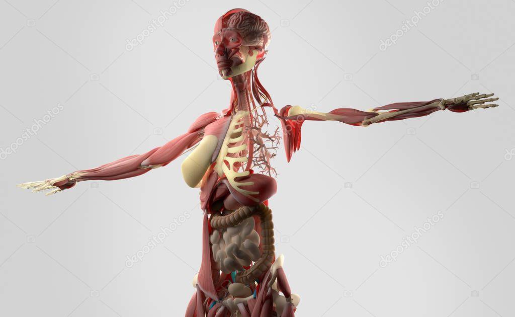 Anatomie des weiblichen Körpers — Stockfoto © AnatomyInsider #129019718