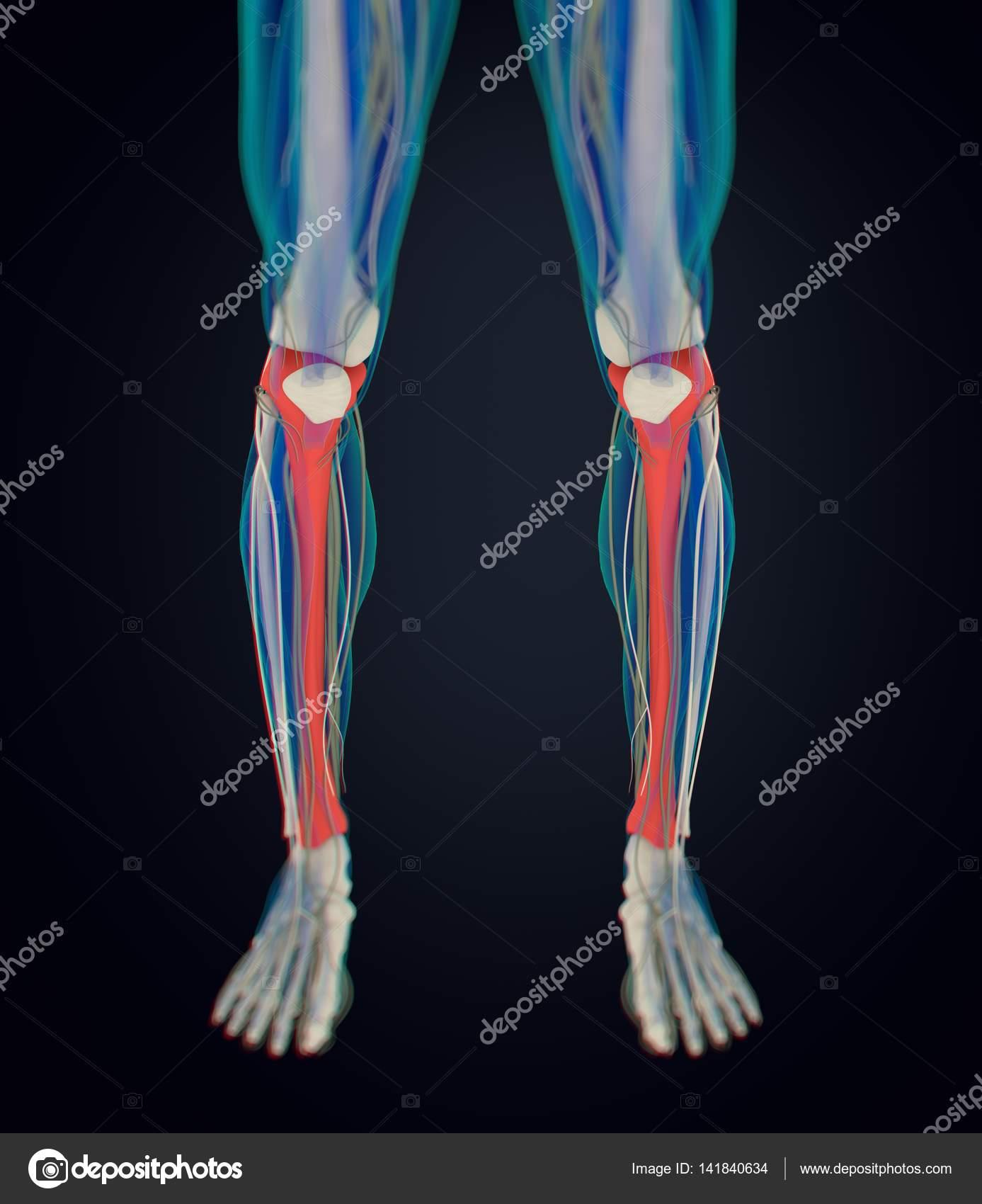 Großartig Was Ist Das Studium Der Menschlichen Anatomie ...