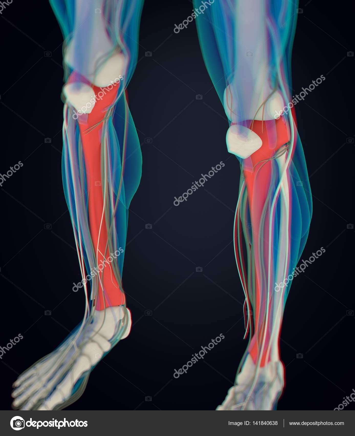 traktierte Anatomie Modell — Stockfoto © AnatomyInsider #141840638