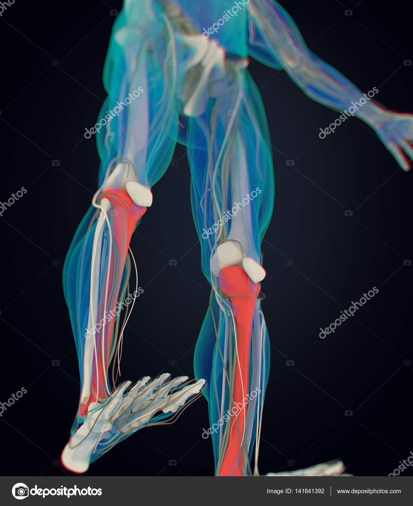 traktierte Anatomie Modell — Stockfoto © AnatomyInsider #141841392