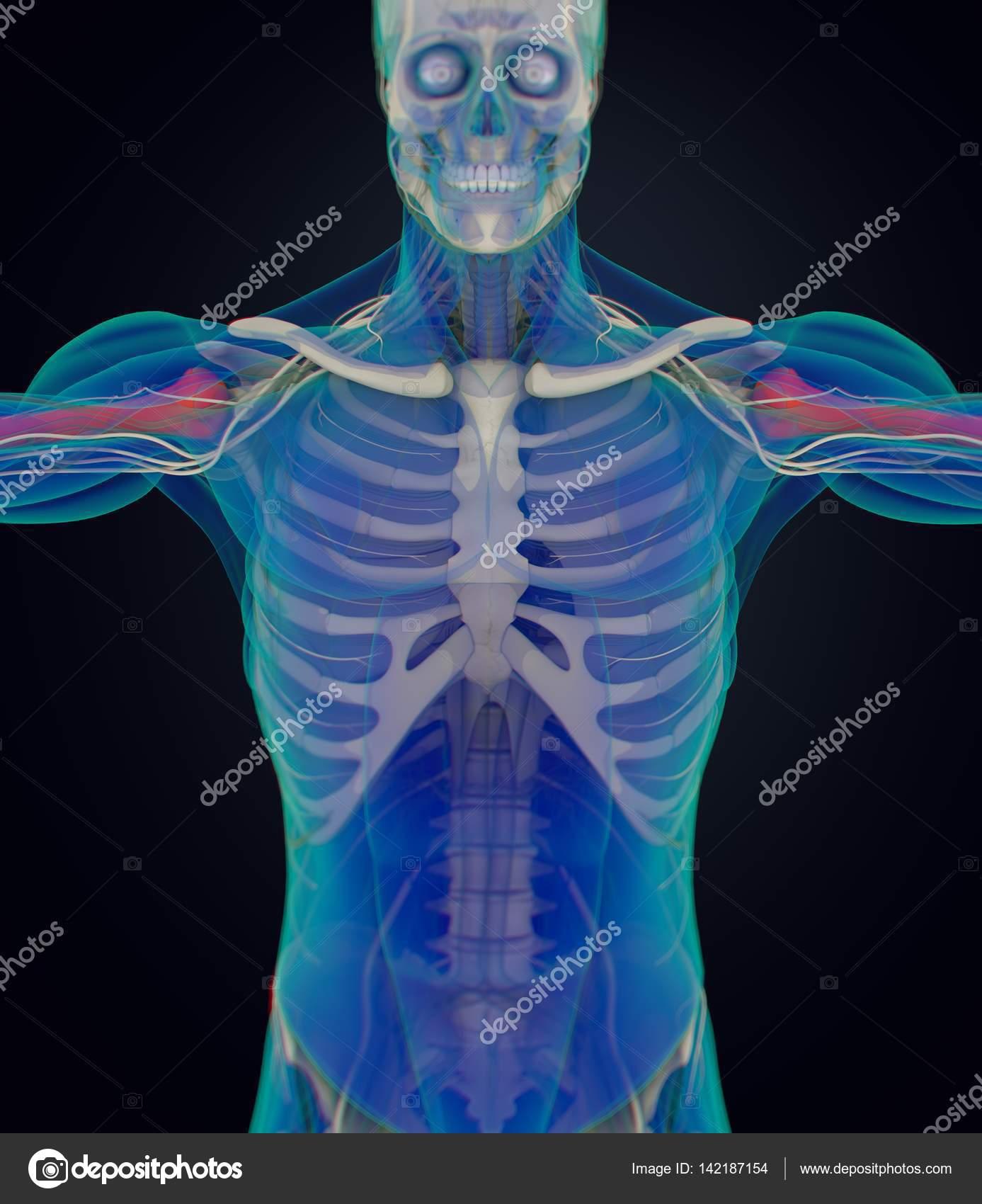 modelo de anatomía humana de húmero — Fotos de Stock ...