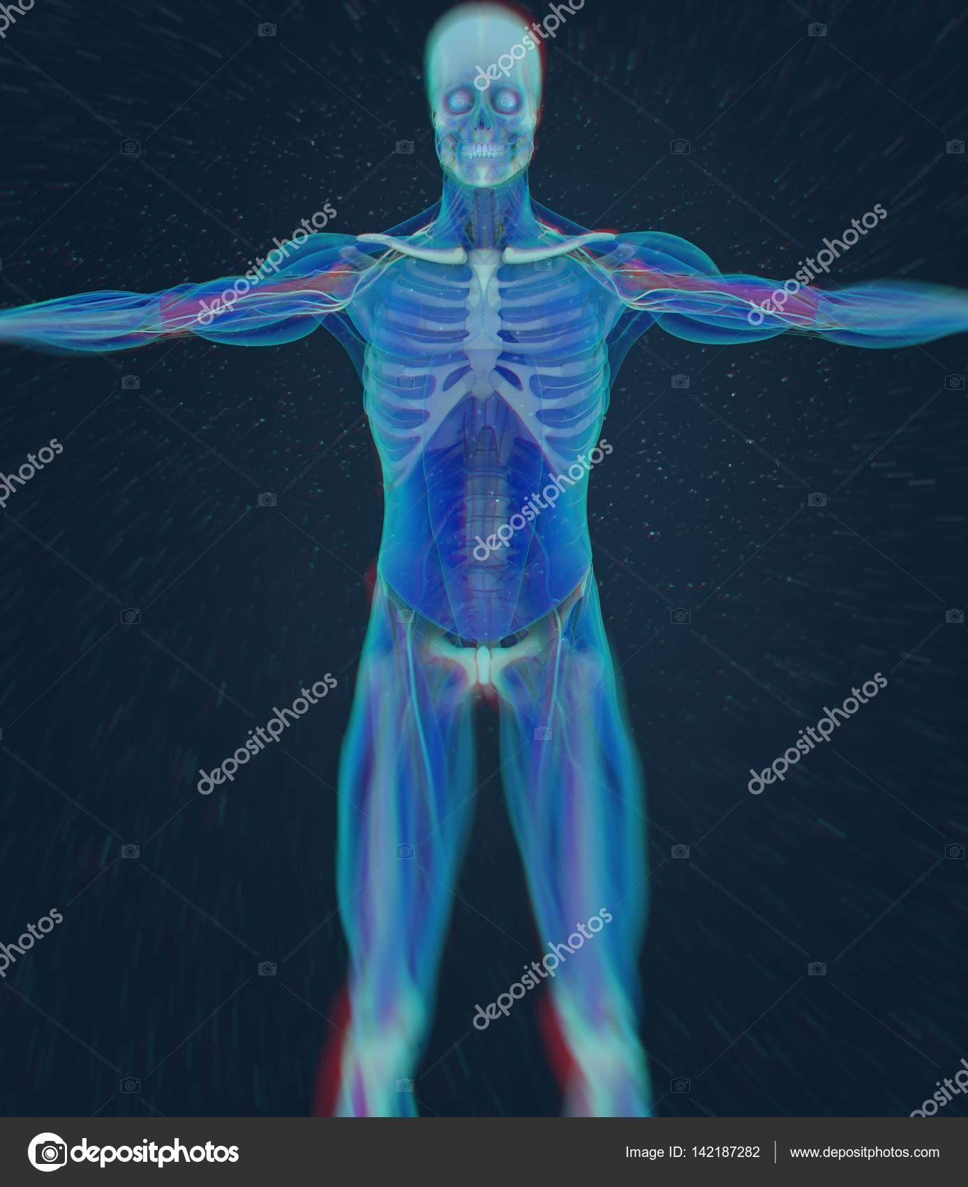 menschlicher Humerus Anatomie Modell — Stockfoto © AnatomyInsider ...