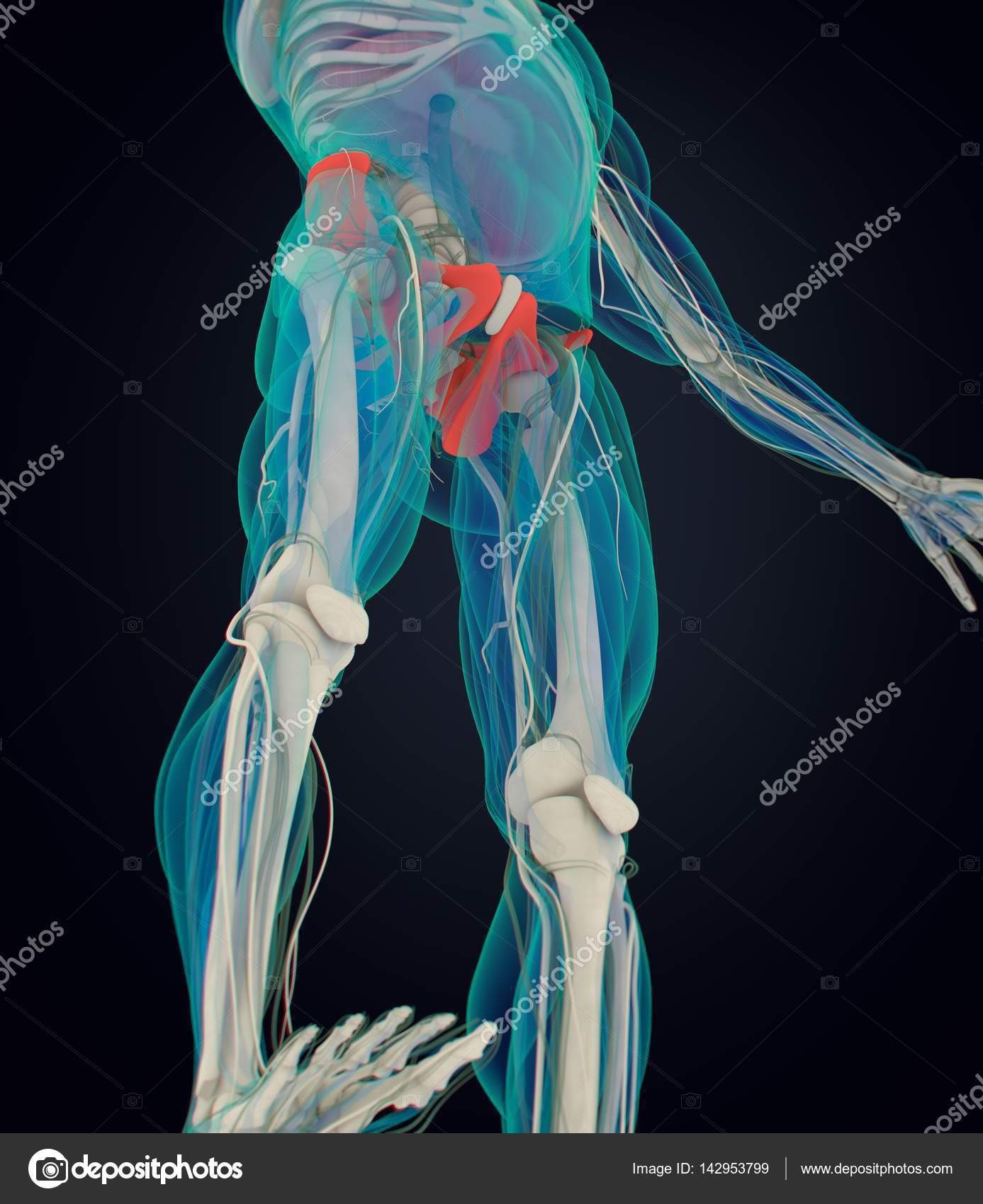 modelo de anatomía de hueso ilíaco — Fotos de Stock © AnatomyInsider ...