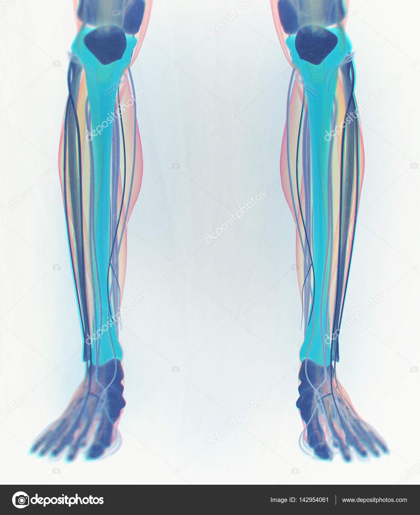 Berühmt Shin Muskelanatomie Fotos - Physiologie Von Menschlichen ...