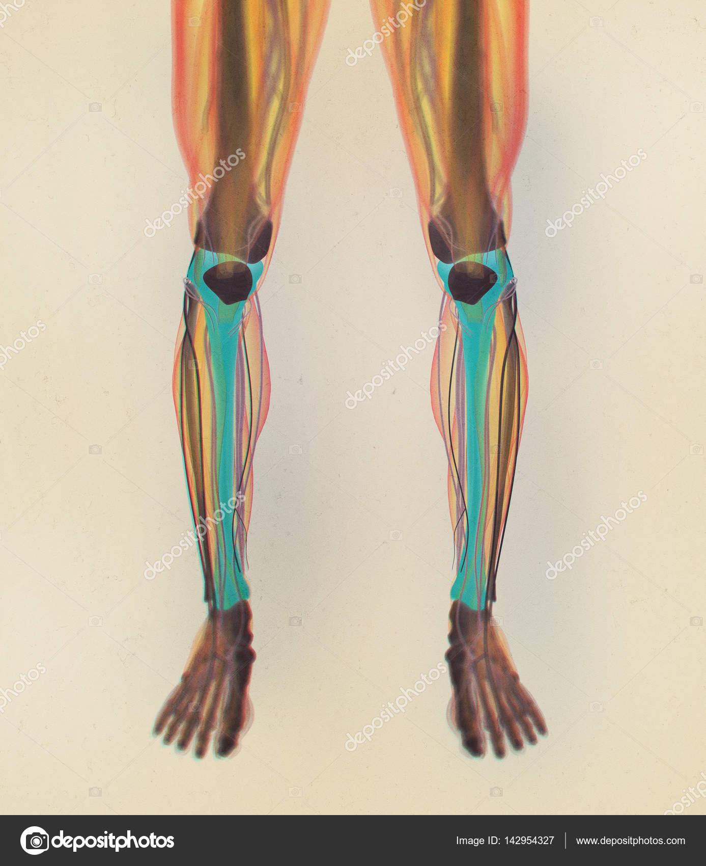 shinbones anatomy model — Stock Photo © AnatomyInsider #142954327