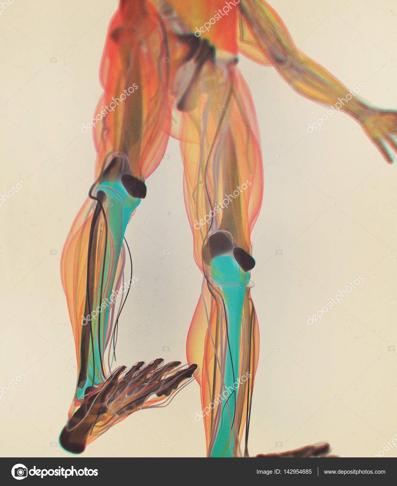 traktierte Anatomie Modell — Stockfoto © AnatomyInsider #142954685