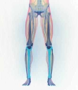 Shinbones anatomy model