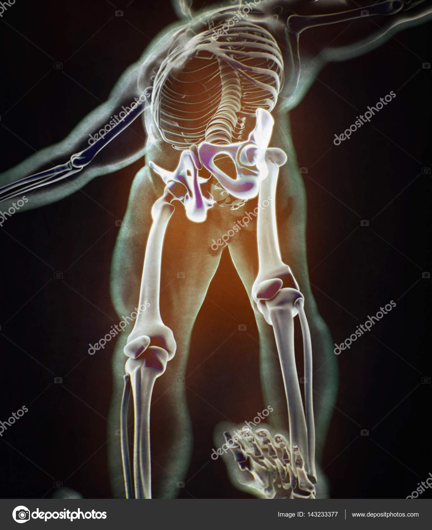 modelo de anatomía de hueso ilíaco — Foto de stock © AnatomyInsider ...