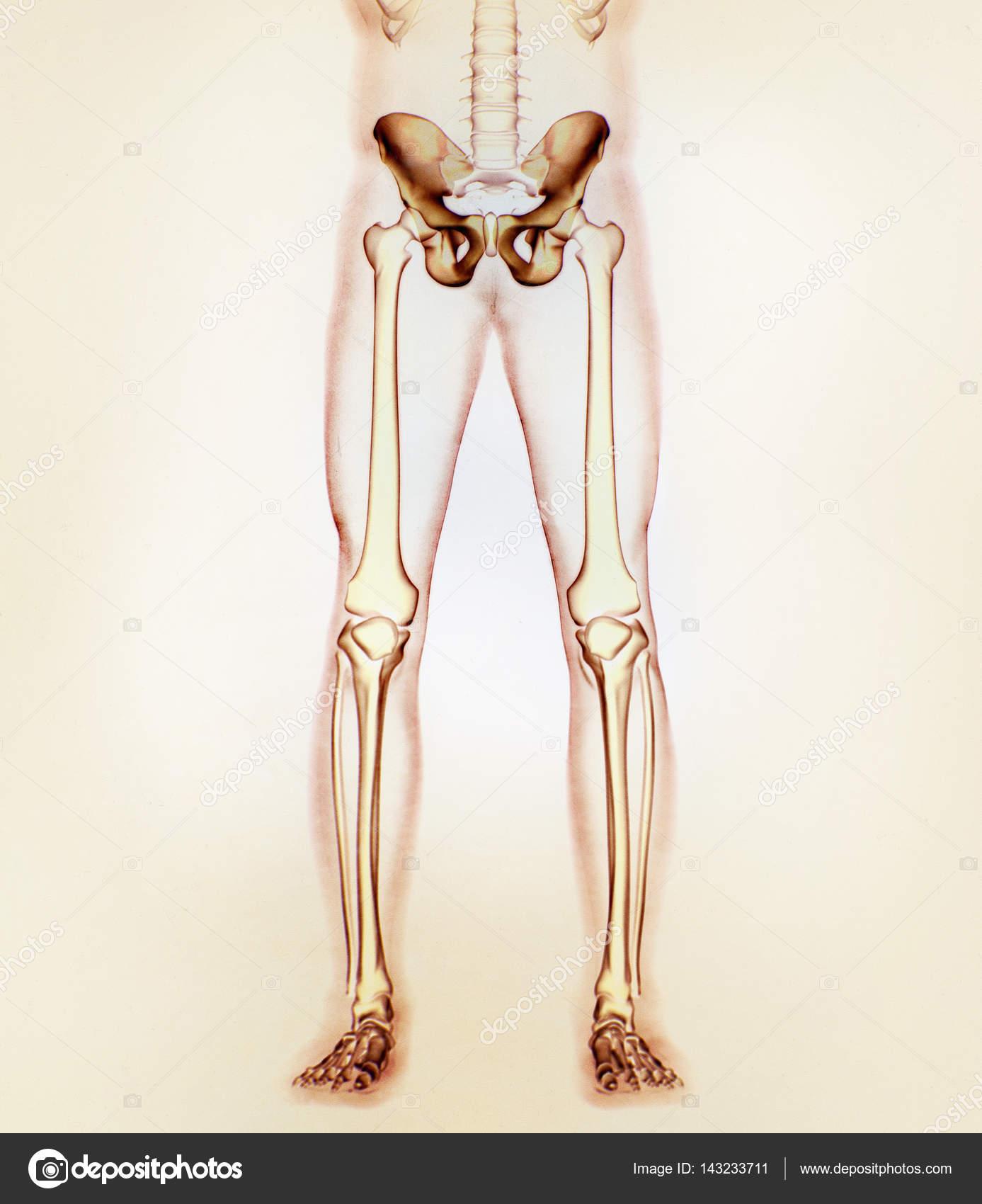 ilium anatomy model — Stock Photo © AnatomyInsider #143233711