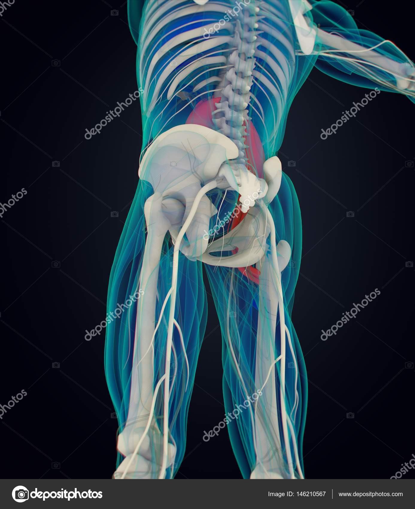 Psoas-Anatomie-Modell — Stockfoto © AnatomyInsider #146210567