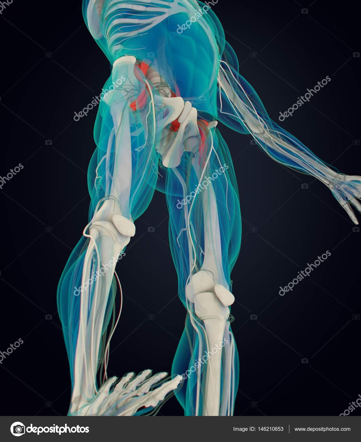 modelo de anatomía del psoas — Foto de stock © AnatomyInsider #146210653