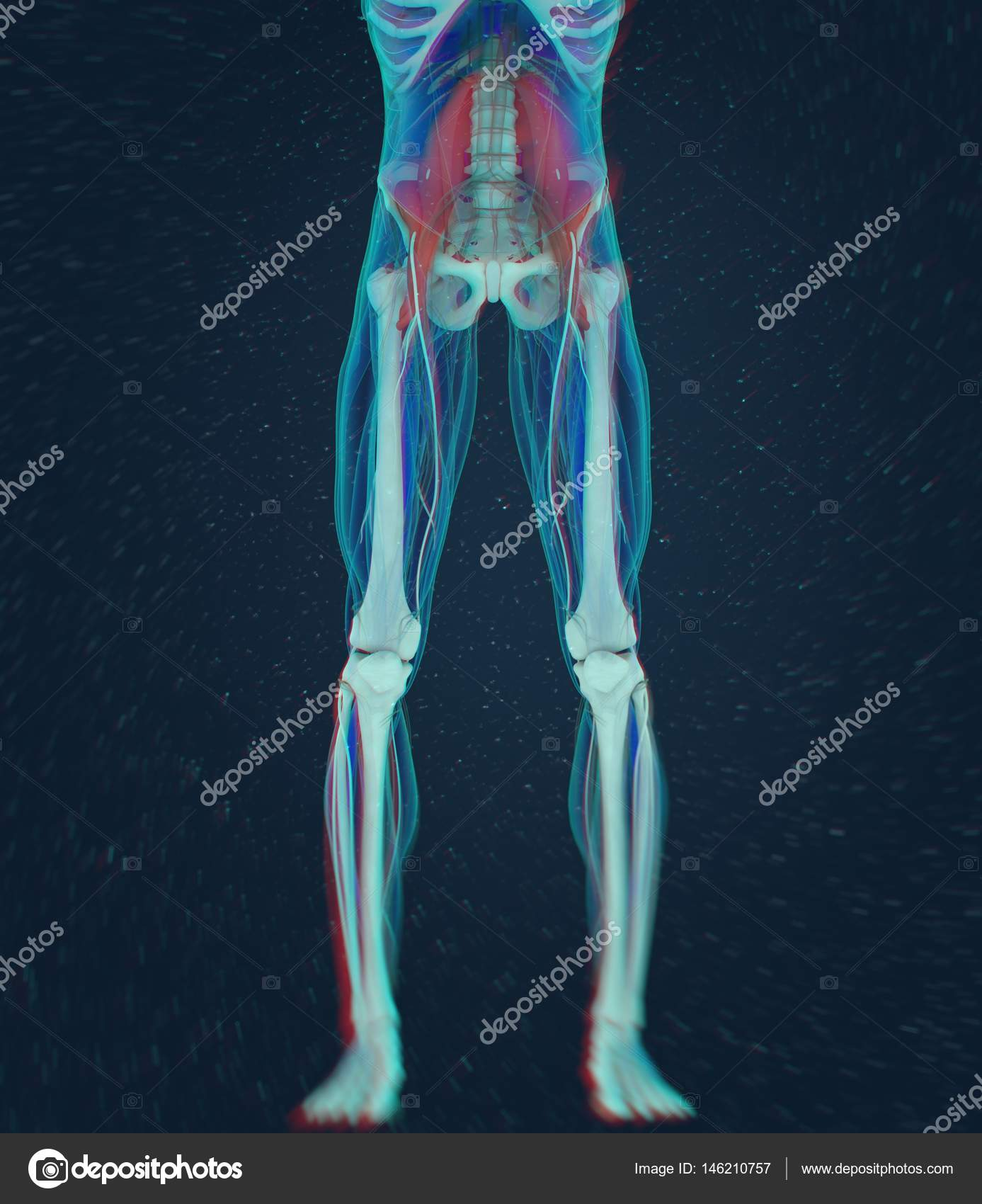 modelo de anatomía del psoas — Fotos de Stock © AnatomyInsider ...