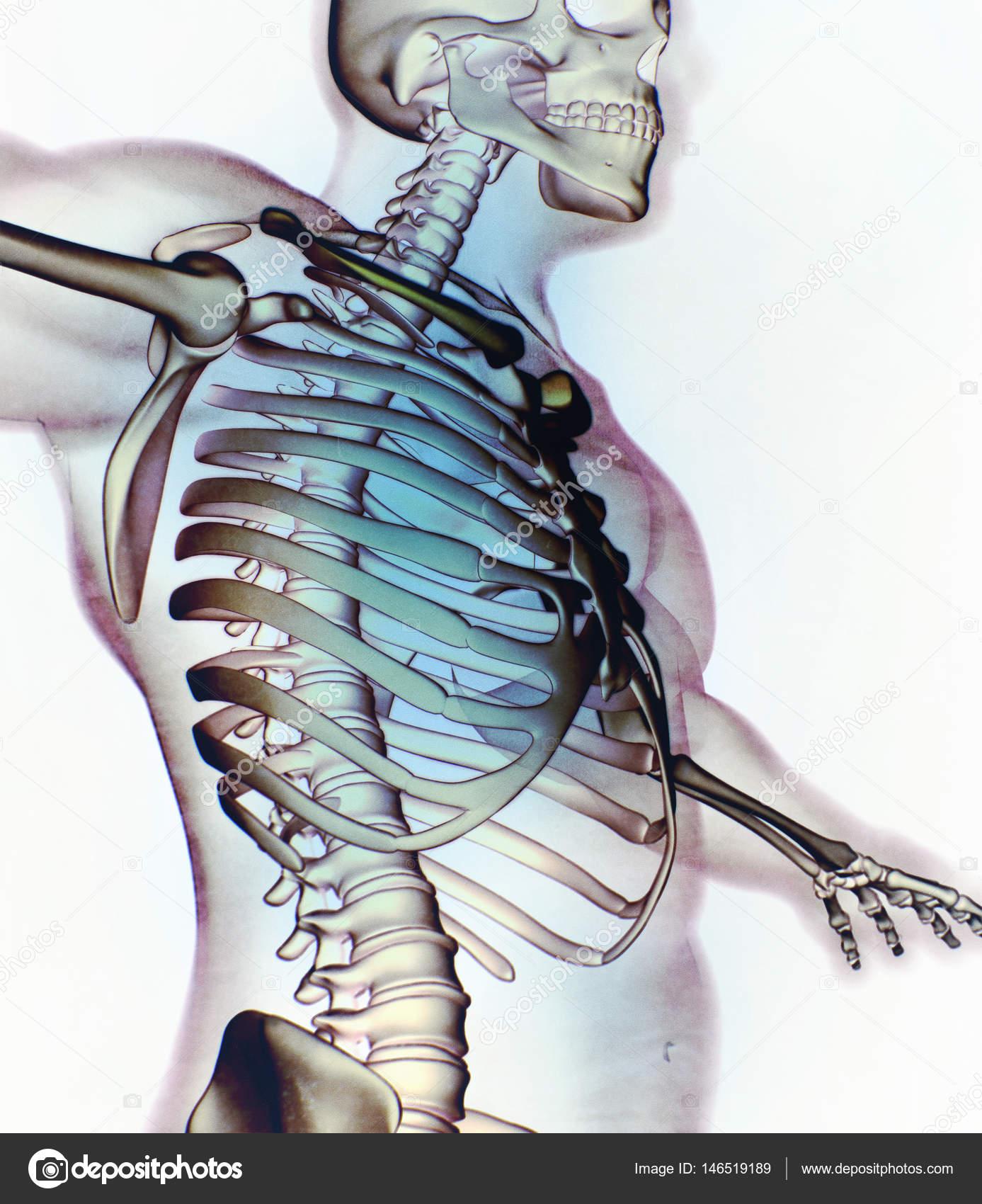 Modelo de anatomía humana collar huesos — Foto de stock ...