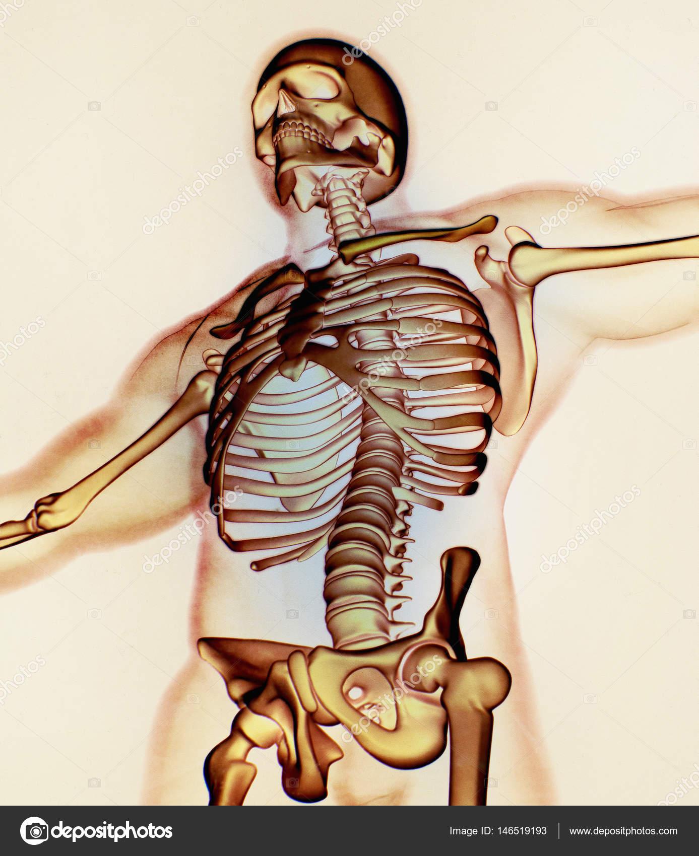 Großzügig Menschliche Anatomie Und Physiologie Knochen Galerie ...