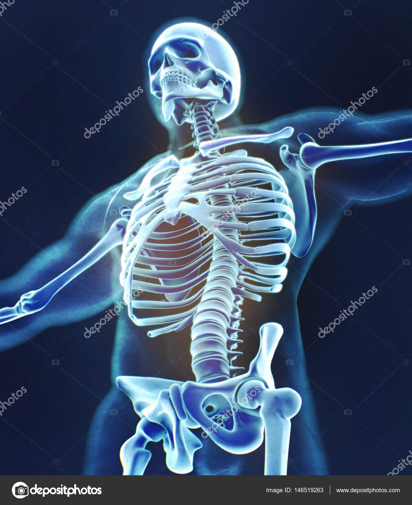 Human collar bones anatomy model — Stock Photo © AnatomyInsider ...